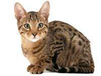 Фото кошки серенгети — описание породы