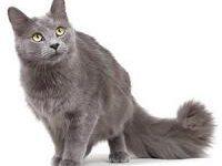 Кошка нибелунг: фото, описание породы