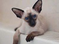 Ориентальная короткошерстная кошка — описание породы