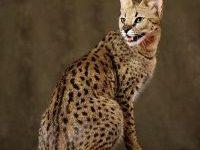 Фото кота саванна