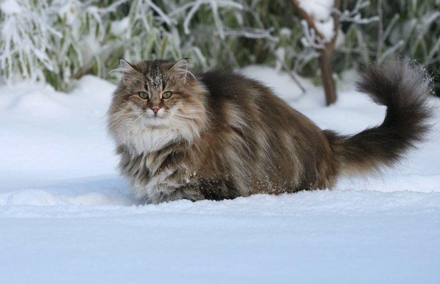 Дикий норвежский лесной кот