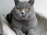 Уход и содержание британской кошки