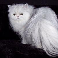 персидский кот фото