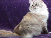 Кошка рагамаффин: фото, описание породы