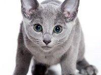 История русского голубого кота