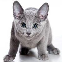 русский голубой кот история