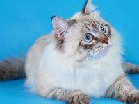 Невская маскарадная кошка — описание породы
