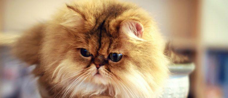Сколько живут персидские кошки в домашних условиях 403