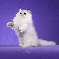 уход за персидским котом