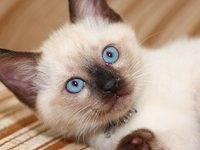 Как красиво назвать сиамского котенка мальчика?