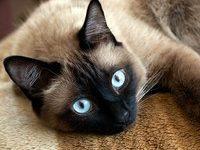 Красивые имена для сиамских кошек девочек