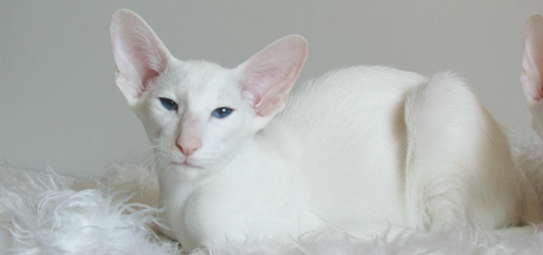 белая ориентальная кошка фото