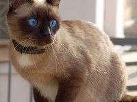 Какой характер у сиамского кота?