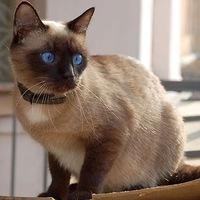 характер сиамского кота