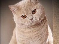Таблица веса шотландского котенка по месяцам