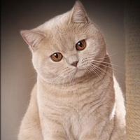 вес шотландского котенка по месяцам таблица