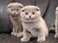 Прививки для вислоухих шотландских котят