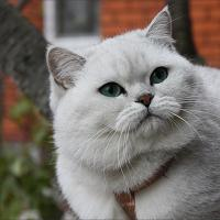 короткошерстная шотландская кошка