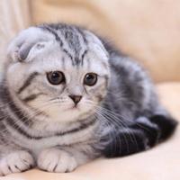 когда кастрировать шотландского вислоухого кота