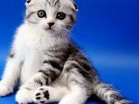 Как выбрать вислоухого шотландского котенка?