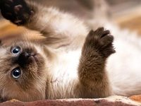 Фото сиамских котят