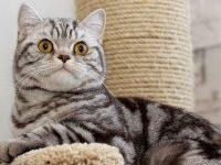 Характер шотландской прямоухой кошки