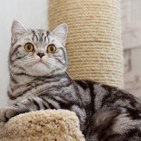 кошка шотландская прямоухая характер