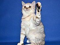 Уход и кормление за прямоухими шотландскими кошками и котятами