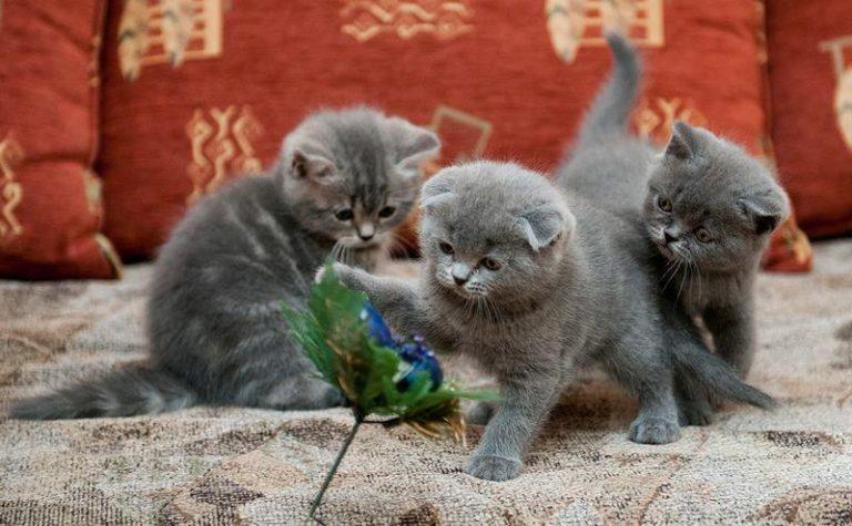 Фото и уход за вислоухими котятами