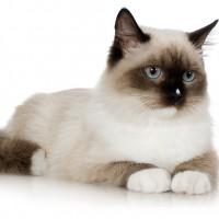 фото сиамского кота и кошки