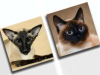 Основные отличие сиамской кошки от тайской