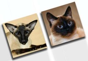 сиамская и тайская кошка отличия