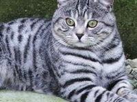 Характеристика породы шотландского кота