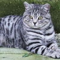 шотландский кот характеристика породы