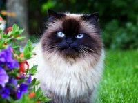 Фото пушистых сиамских кошек