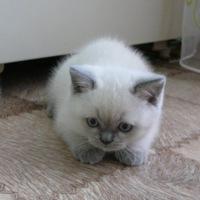 кошка прямоухая шотландская
