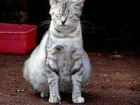 Сколько по времени шотландские кошки вынашивают котят?