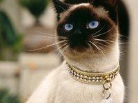 Родина у сиамских кошек
