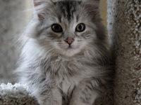 Какой характер у сибирской кошки?