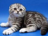Шотландская вислоухая порода кошек с фото