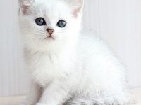 Характер породы кошек скоттиш страйт