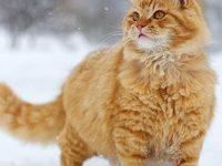Рыжий сибирский кот — описание породы с фотографиями
