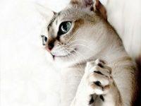Священная кошка сингапура — описание породы