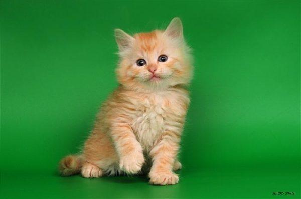 Взять котенка в конаково