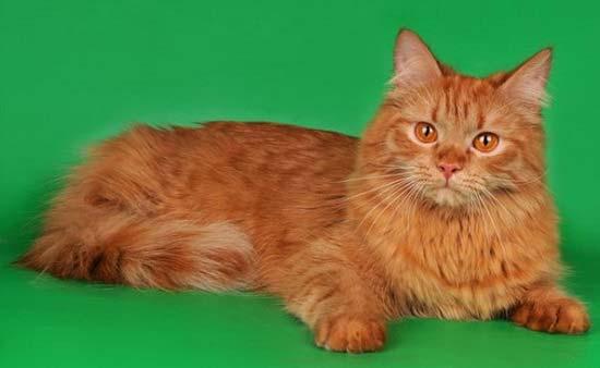 сибирский кот фото рыжий