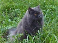 Фото сибирской голубой кошки