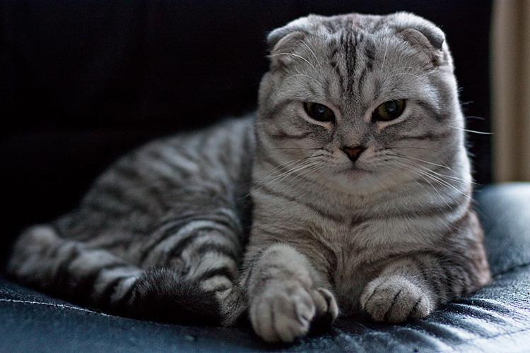 Шотландский кот характер породы