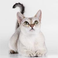 кошка сингапурская фото