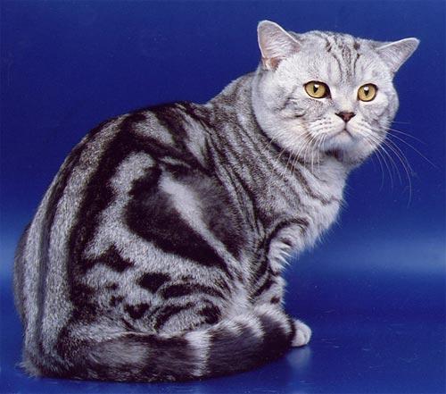 Шотландский страйт фото кот
