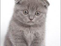 Фото вислоухой голубой шотландской кошки